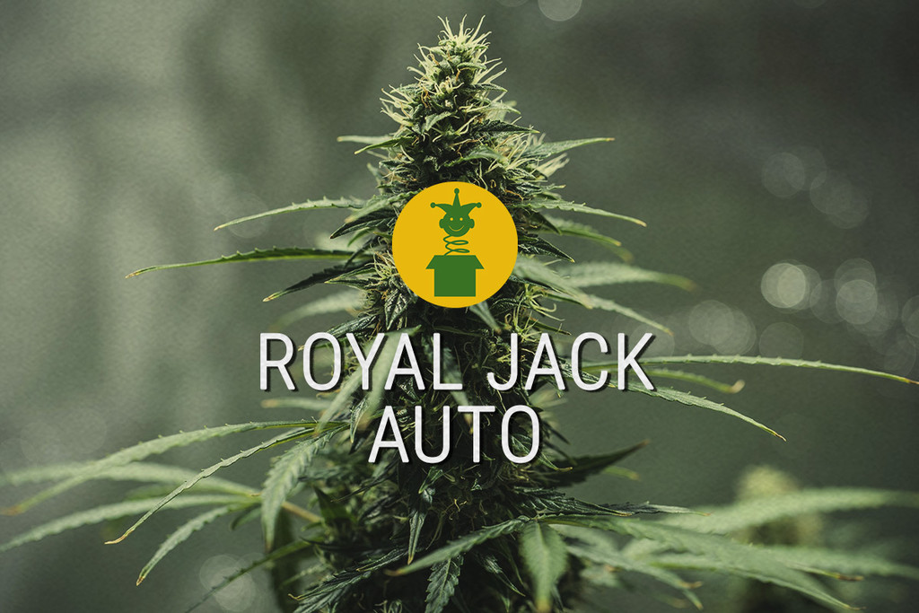 Royal Jack Automatic: legendäre Sativa als Autoflower