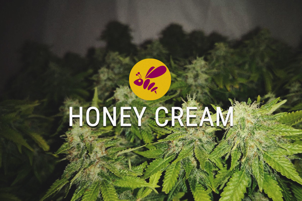 Honey Cream Feminisiert Cannabis Samen