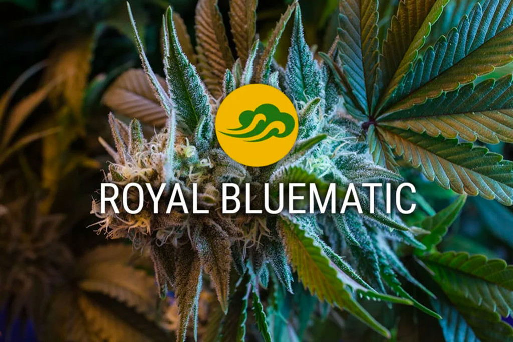 Royal Bluematic Autoflowering Cannabissamen