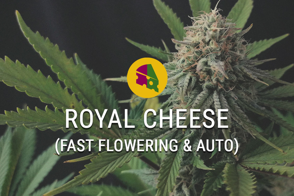 Royal Cheese Feminisierte Marihuanasamen