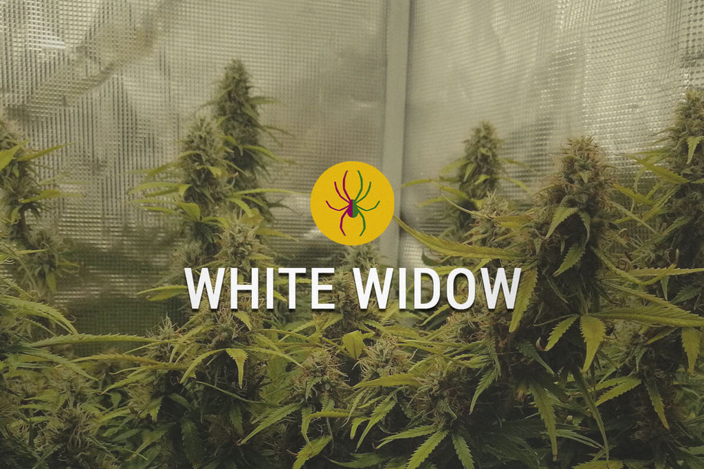 White Widow Feminisiert Hanfsamen