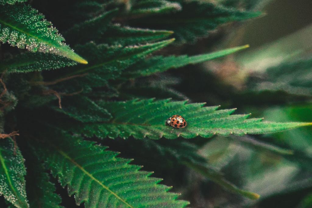 cannabis 101 marienk fer als nat rliches mittel gegen. Black Bedroom Furniture Sets. Home Design Ideas