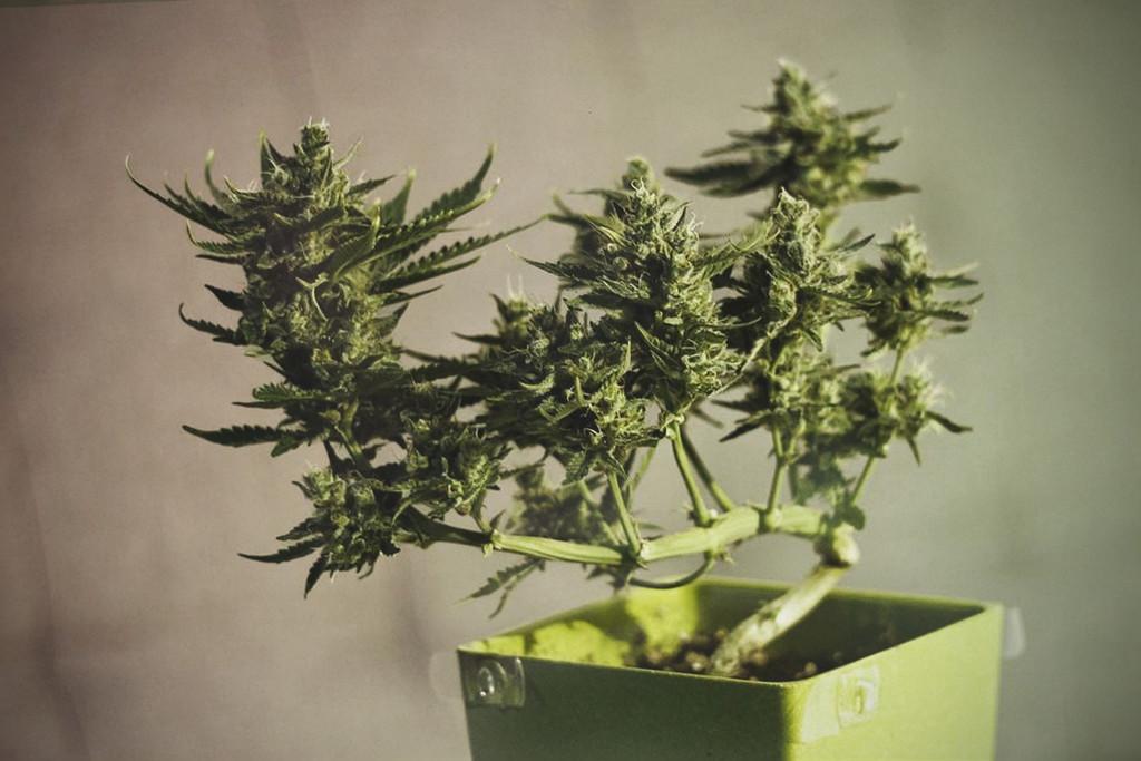 anleitung f r einen marihuana bonsai rqs blog. Black Bedroom Furniture Sets. Home Design Ideas