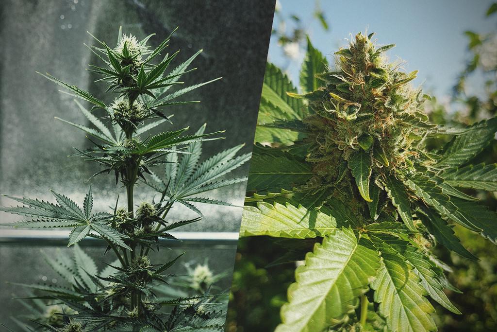 Wie du deine cannabispflanze erst drinnen anpflanzt und for Pflanzen drinnen