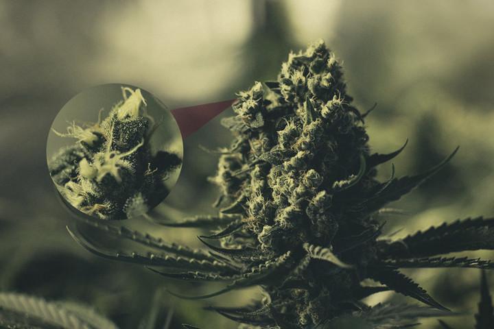 erkundung der harzigen cannabis bl tenkelche rqs blog. Black Bedroom Furniture Sets. Home Design Ideas