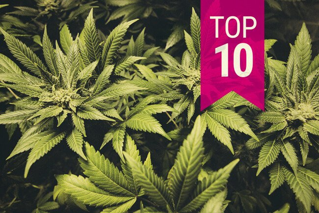 Top 10 Cannabis Indica-Sorten