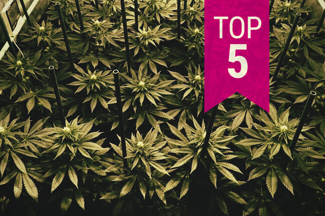 Top 5 Royal Queen Seeds Sorten für die SOG-Technik